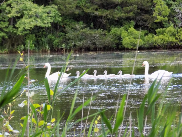 Swans on Lily Lake